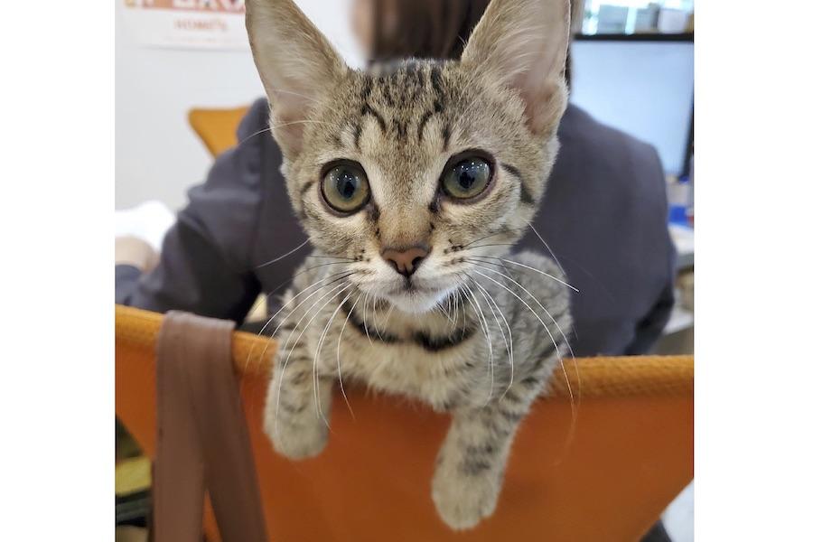 イチタくんと同じく生後約4か月でキジトラのルイくんも椅子の間にすっぽり【写真提供:猫がいる不動産ユーエルネット江坂店(@Ulnet_222)】