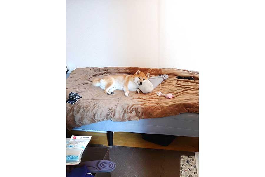 """ベッドで完全にリラックスモード。飼い主さんを見送る気""""皆無""""のこま次郎くん【写真提供:こま次郎(@komajiro0926)さん】"""