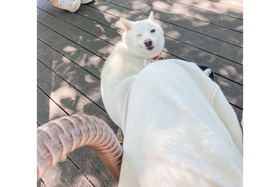 ウインクを決める柴犬の雪海ちゃん【写真提供:柴犬ゆきみ(@yukimi_shiba)さん】