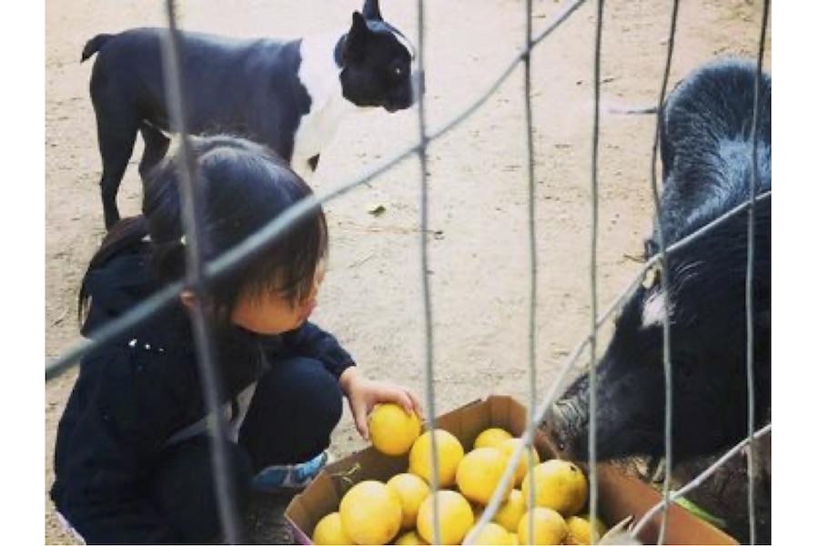 ブタの「スイ」とボストンテリアの「トウフ」とともにグレープフルーツを収穫【写真:小田島勢子】
