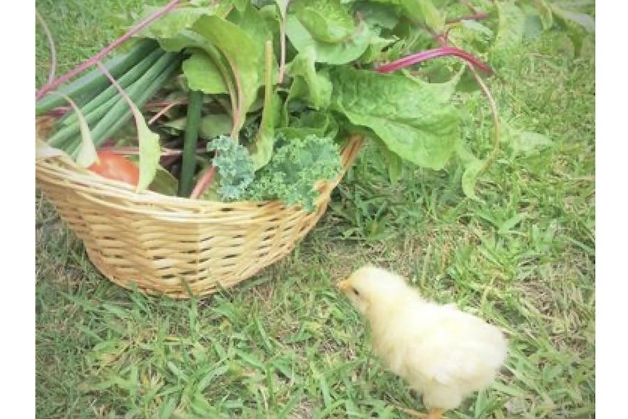 10年前、初代のヒヨコと庭で取れた野菜【写真:小田島勢子】