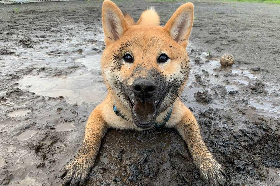 思う存分遊んでご満悦。わんぱくなおてんとうまるくん【写真提供:柴犬おてんとうまる(@otentou_Shiba)さん】