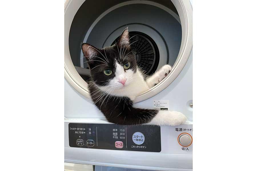"""ドラム式洗濯機の乾燥機部分から顔を出し""""車で迎えに来た風""""なむぎちゃん【写真提供:つよいねこ(@TsuyotsuyoNeko)さん】"""