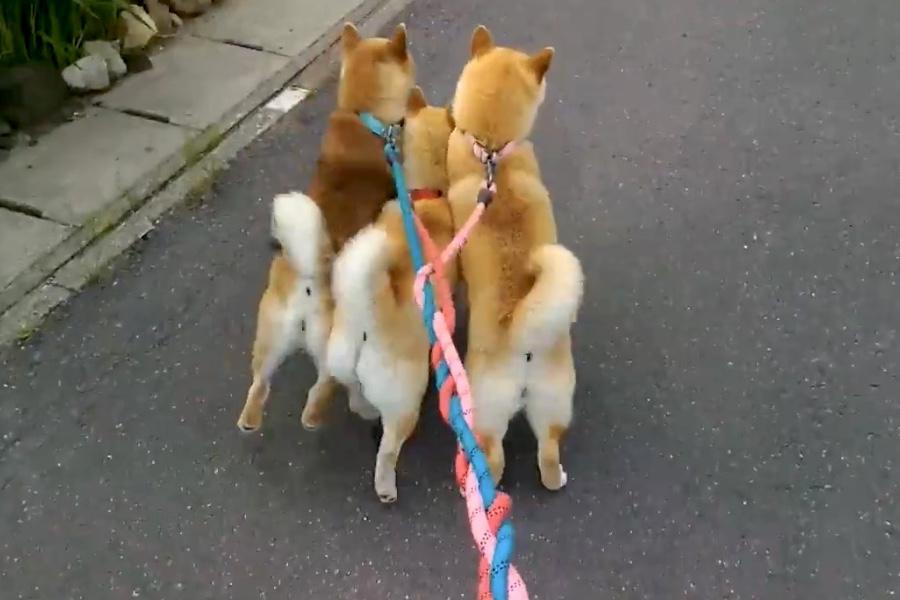 散歩中にテンションが上りすぎてリードが絡まってしまった柴犬の親子3匹(画像はスクリーンショット)