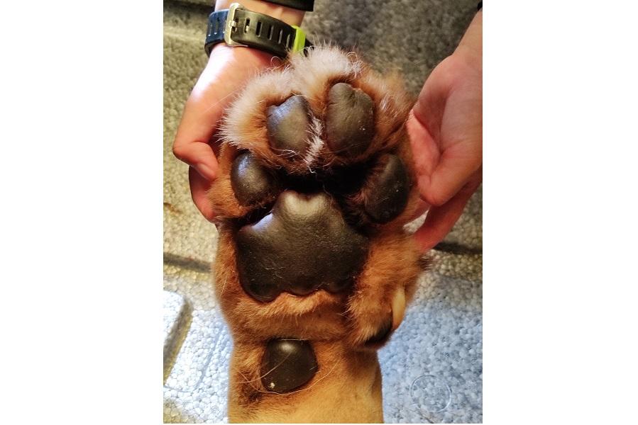 ごろんと迫力あるキングくんの肉球【写真提供:盛岡市動物公園ZOOMO(@moriokazoo)】