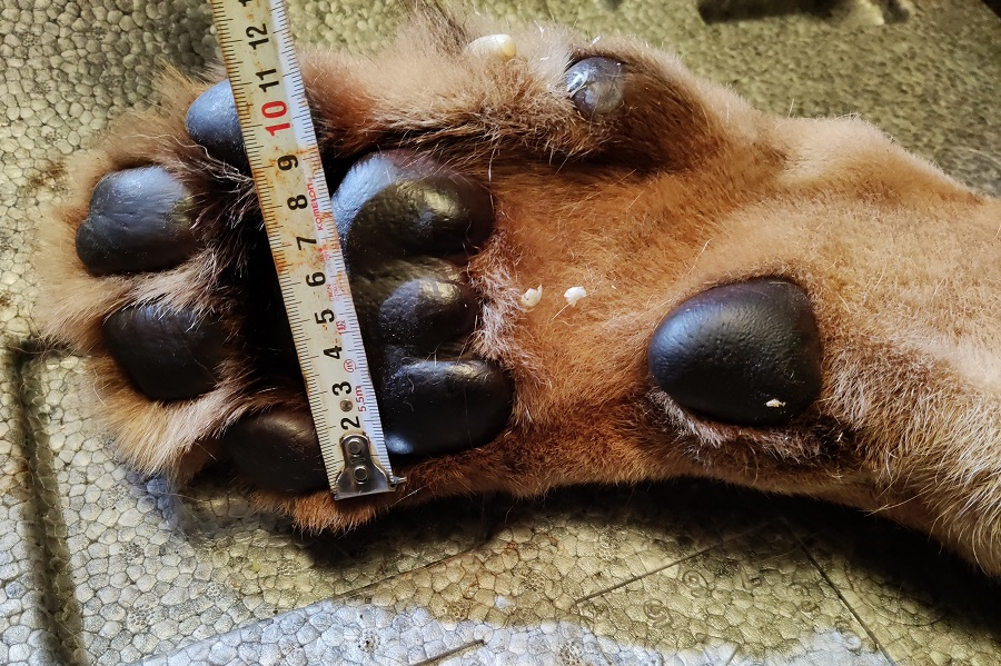 足首からつま先までは約20センチ、横幅は11センチ【写真提供:盛岡市動物公園ZOOMO(@moriokazoo)】
