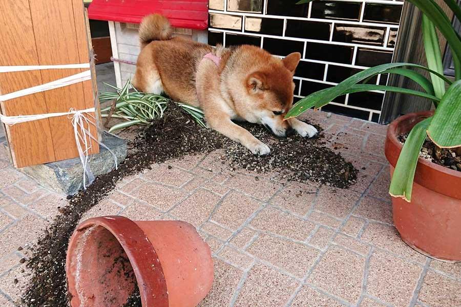 両前足を広げてこぼした土を隠そうとするののちゃん【写真提供:柴犬ののの(@nonohime_shiba)さん】