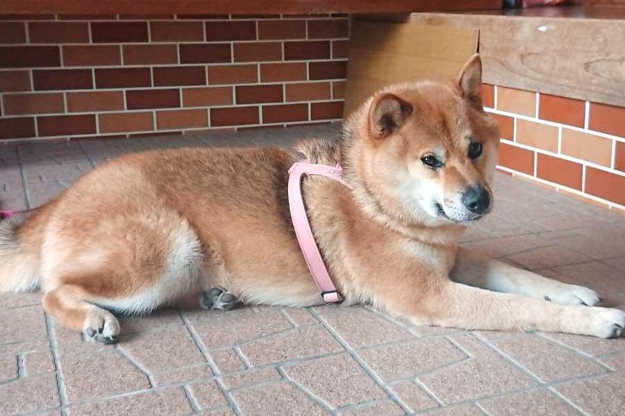 叱られた後、納得できない表情を見せたののちゃん【写真提供:柴犬ののの(@nonohime_shiba)さん】