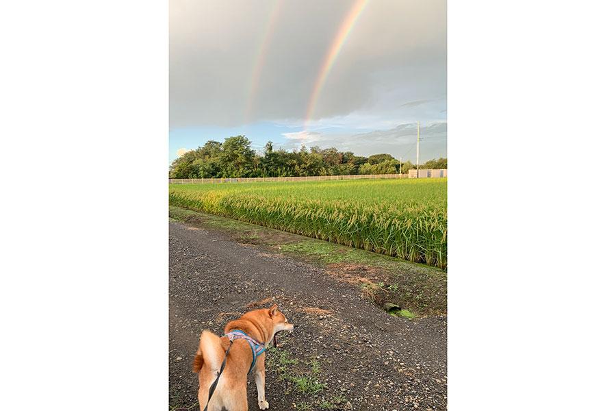 「お散歩中にダブルの虹が!」テンションが上がる飼い主さんをよそに、大あくびを見せた銀次くん【写真提供:いぶし銀(@shiba48love)さん】