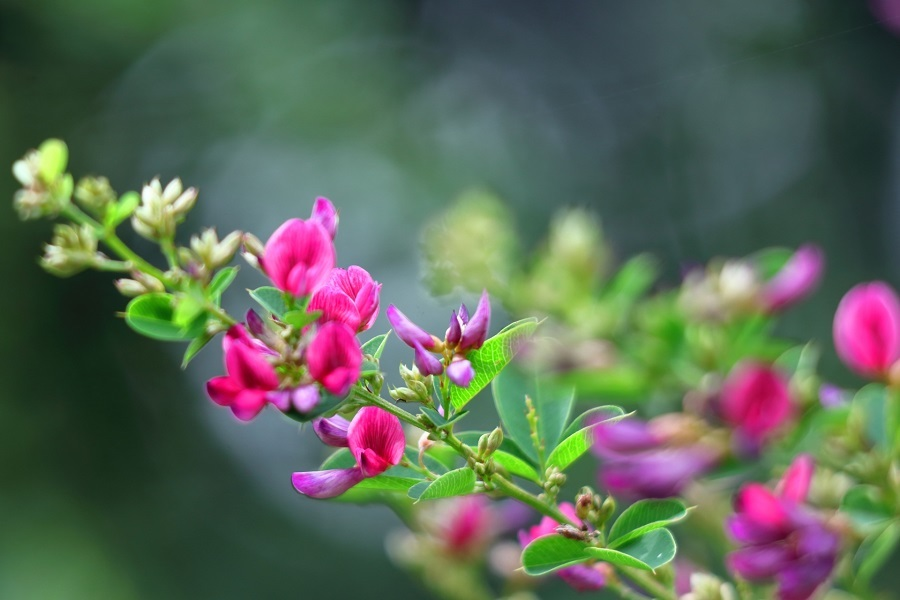 秋を代表するハギの花(写真はイメージ)【写真:写真AC】
