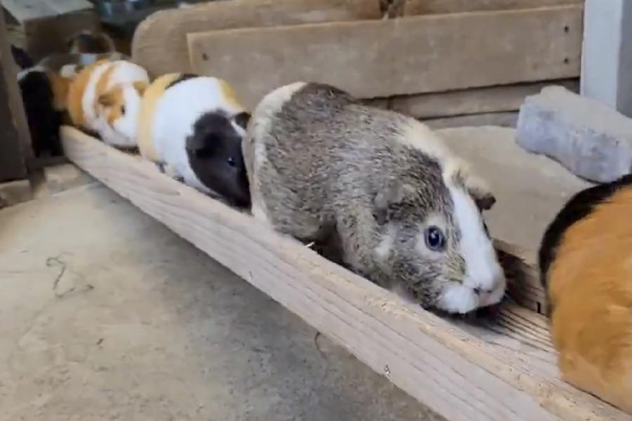 「リアルモルカー!!」と反響を集めた市川市動植物園のモルモットたち(画像はスクリーンショット)