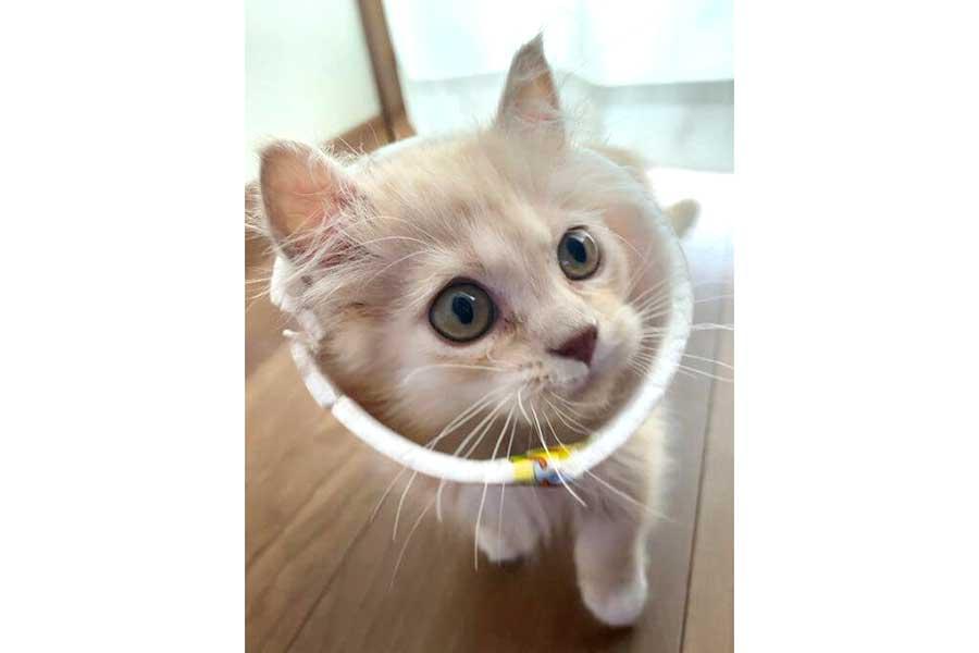 妹分のべこちゃん【写真提供:おもちくん猫とべこちゃん猫の部屋(@omochi_cutecat)さん】