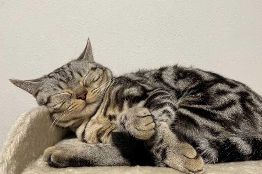 """至福の表情を浮かべて""""すやすや~ん""""【写真提供:おもちくん猫とべこちゃん猫の部屋(@omochi_cutecat)さん】"""