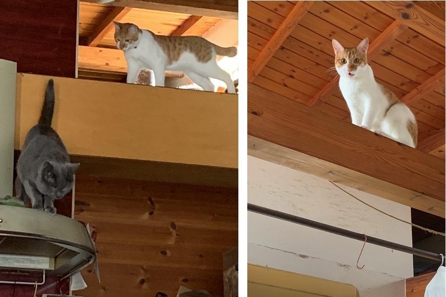 安全な降り方を教えてくれている兄ねこのナンシーくん(左)、梁でくつろぐとらくん【写真提供:poppy(@groovy03291013)さん】