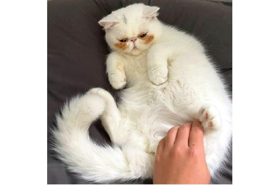 ほっぺの模様が理由で「照れてるねこにしか見えない」と飼い主さん【写真提供:ほっぺの猫(@uninosns)さん】