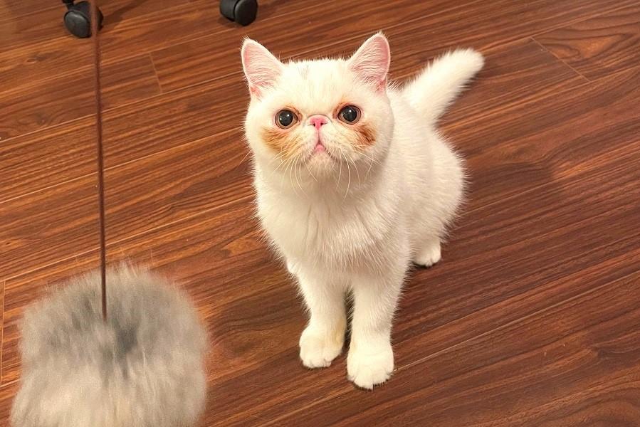 遊具を持った飼い主さんをじっと見つめるUNIちゃん【写真提供:ほっぺの猫(@uninosns)さん】