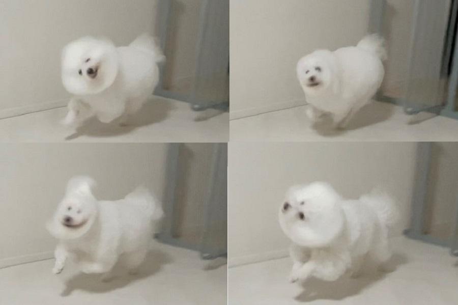 思わぬ変顔で飼い主さんを驚かせたプンちゃん【写真提供:プン|ビションフリーゼ(@bichonpun)さん】