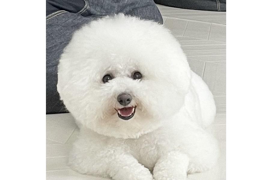 真っ白な毛が自慢のプンちゃん。ブラッシング後は2倍に膨らむそう【写真提供:プン|ビションフリーゼ(@bichonpun)さん】