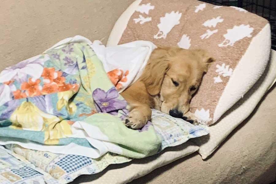 飼い主さん愛用のクッションをひとりじめ。ソファでくつろぐジョンくん【写真提供:ゴールデンレトリバーのジョンくん(@HiRogameTV)さん】