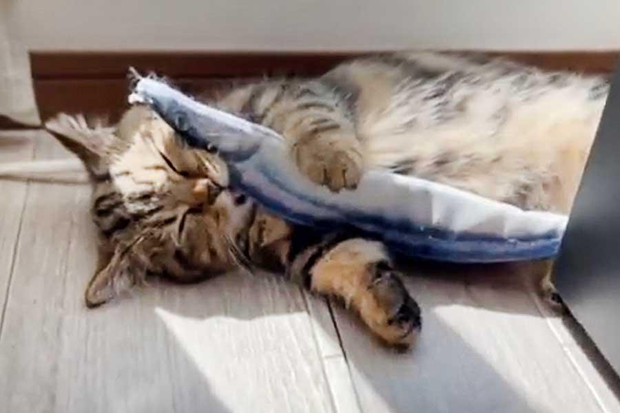 サンマのぬいぐるみをくわえながら熟睡するチョパえもんくん(画像はスクリーンショット)