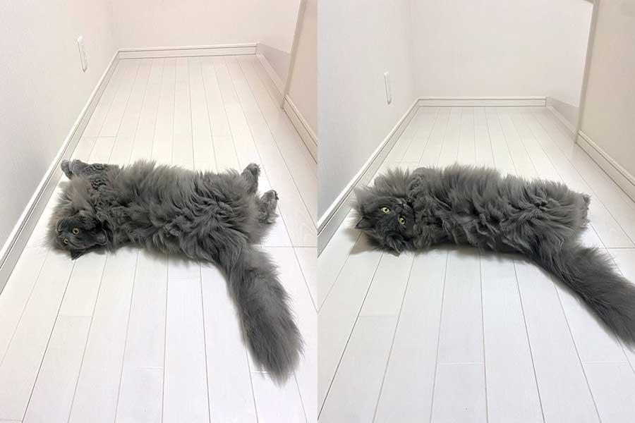 ペットロスだった飼い主さんの心を癒やしたぼんくん【写真提供:さとう@猫ぼっこ(@necobokko)さん】